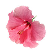 single pink hibiscus flower from above