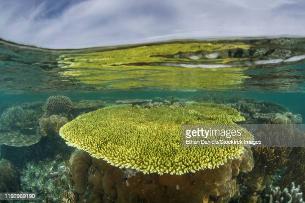 fragile table corals thrive in a remote part of raja ampat, indonesia. - rinca island stock pictures, royalty-free photos & images
