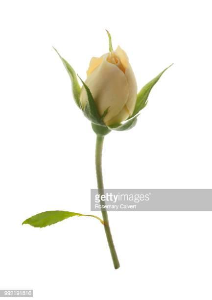 Fragrant cream rose bud and leaf on white.