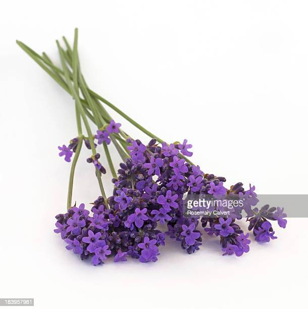 Fragrant lavender flowers freshly picked