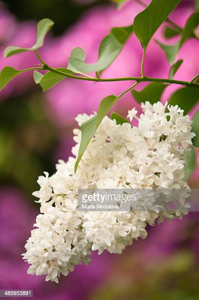 fragrant lilac flowers, lilac mme lemoine - purple lilac stock pictures, royalty-free photos & images