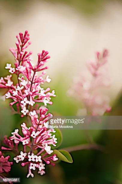 fragrant lilac flowers, lilac tinkerbelle - purple lilac stock pictures, royalty-free photos & images