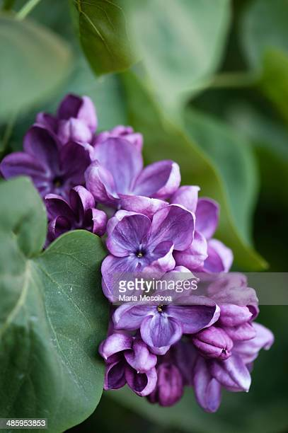 Fragrant Lilac Flowers, Lilac Yankee Doodle