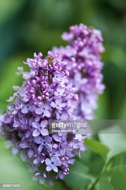 fragrant lilac flowers - purple lilac stock pictures, royalty-free photos & images