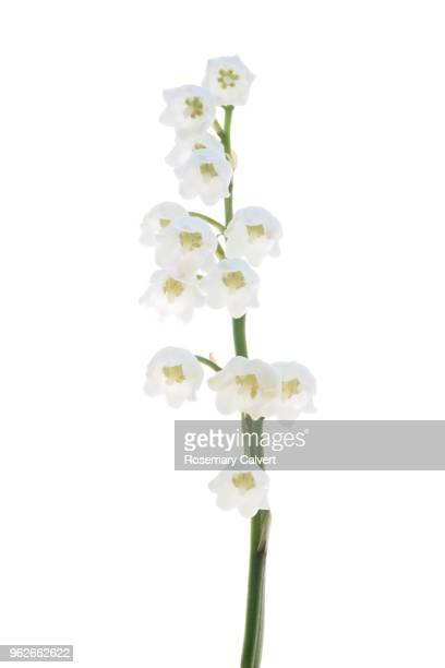 fragrant lily of the valley flower, convallia majalis,on white. - mughetti foto e immagini stock