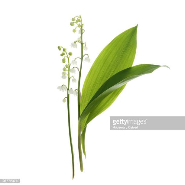 fragrant lily-of-the-valley flowers & leaves on white - 茎 ストックフォトと画像