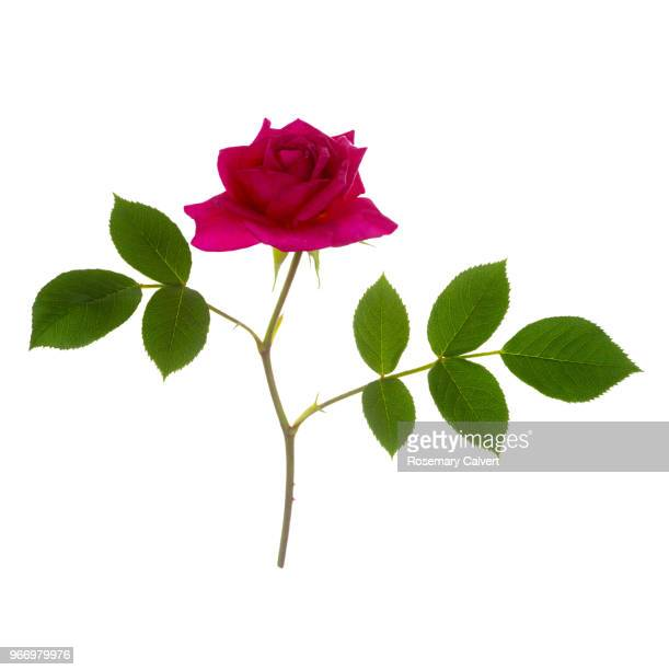 fragrant magenta pink rose, rosa gloriana, on white. - rose colored stock pictures, royalty-free photos & images