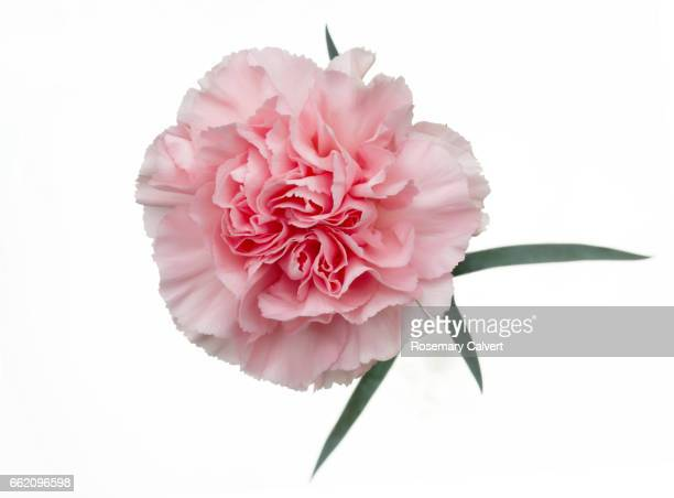 fragrant pale pink carnation on white. - carnation flower stock pictures, royalty-free photos & images