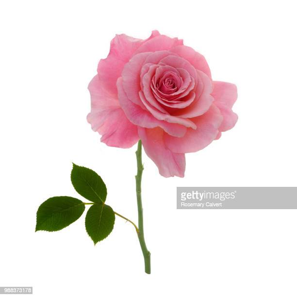 Fragrant pink rose & leaf, Rosa Congratulations on white.