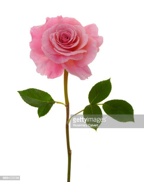 Fragrant pink rose, Rosa Congratulations & leaves.
