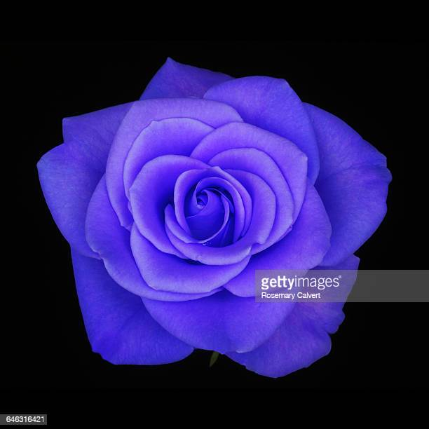 Fragrant purple rose in close up on black.