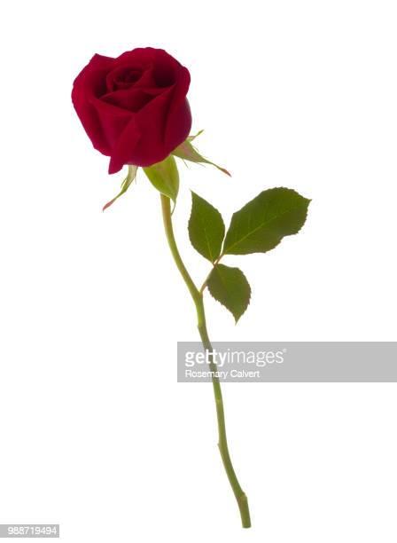 Fragrant red rose bud, Rosa Royal William, on white.