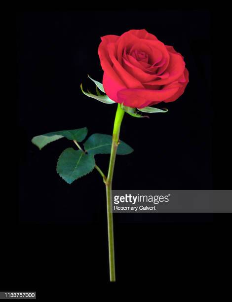 Red Rose Black Background Photos And Premium High Res Pictures Getty Images