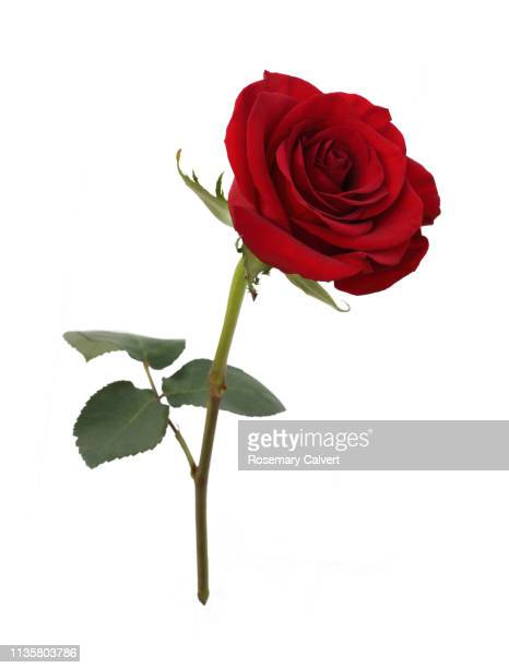 fragrant red rose with leaf on white. - バラ ストックフォトと画像