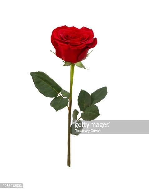 fragrant red rose with two leaves on white. - rose stock pictures, royalty-free photos & images