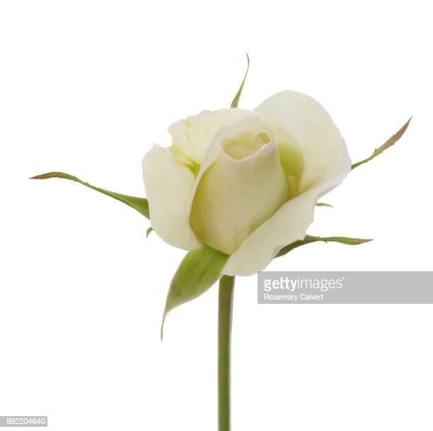Fragrant white rose bud in white square.