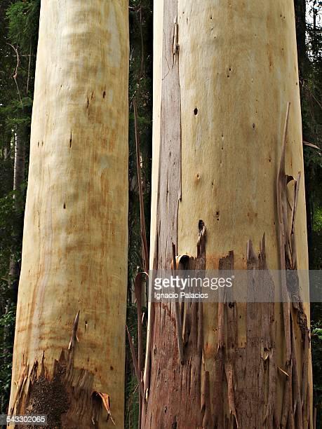 Fraiser island gum trees