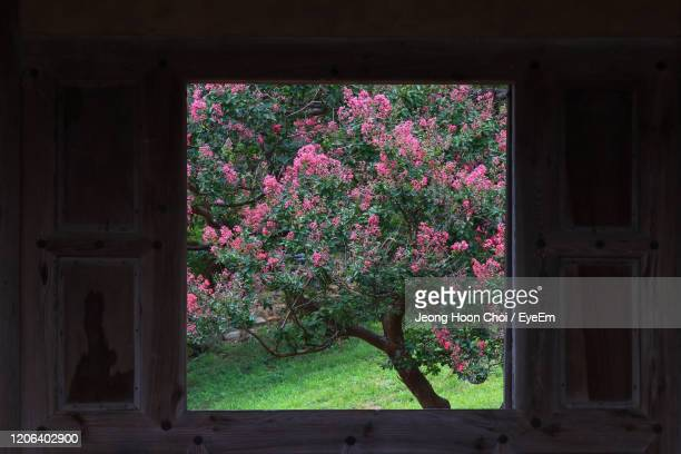 i frame a large window frame of the crape myrtle across the floor of old house. - magnoliophyta foto e immagini stock