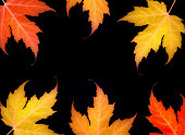 orange red yellow maple leaves at