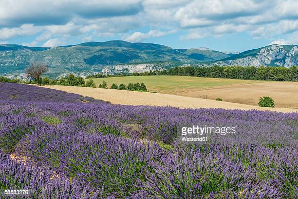 France, Alpes-de-Haute-Provence, Landscape, lavender field and mountain