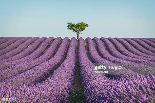 france, alpes-de-haute-provence, lavender field near valensole - lavender stock pictures, royalty-free photos & images