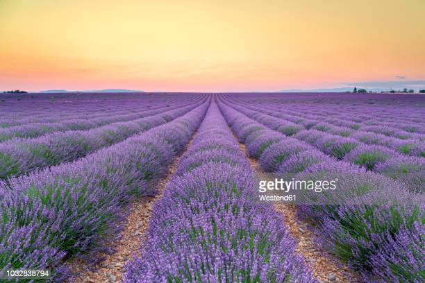 france, alpes-de-haute-provence, valensole, lavender field at twilight - fluchtpunkt stock-fotos und bilder