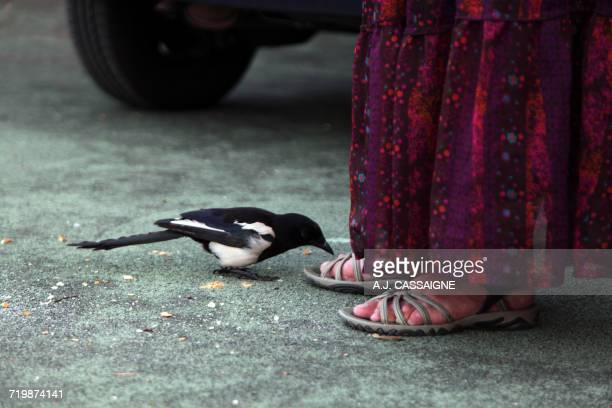 France, Animal behaviour, magpie coming closer to human feet