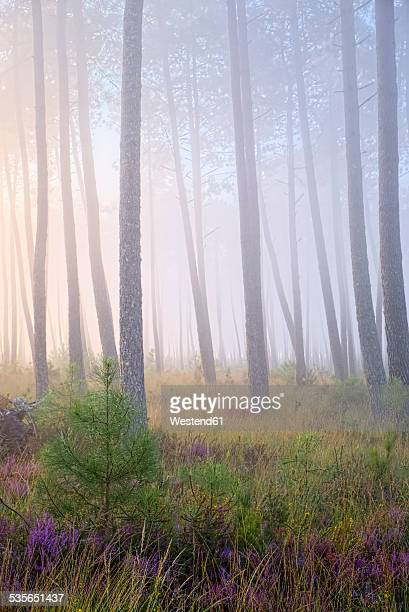 France, Aquitaine, Landes, Pine forest in the morning light