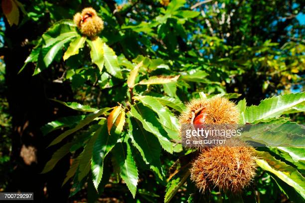 France, Ardeche, Jaujac, Hamlet of les Traverses, a chestnut grove, chestnuts on a road.