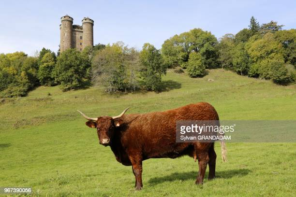 France, Auvergne, Cantal , natural regional park of the Auvergne volcanos, Tournemire castle, Salers cow at fore in a pasture// France, Auvergne,...