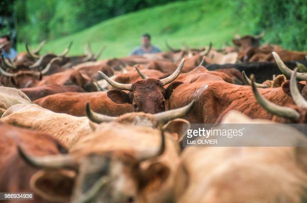 france, auvergne, cows salers transhumance near saint-simon in cantal region. - cantal stock pictures, royalty-free photos & images