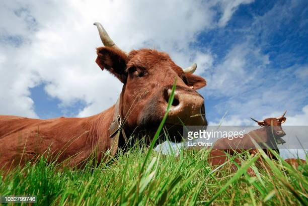 france, auvergne rhone alpes, cantal, the salers cows summer grazing on the mount cantal pastures. - cantal stock pictures, royalty-free photos & images