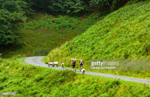 france, basque country, saint jean pied de port, sheeps and pilgrimers on the route to santiago between saint jean pied de port and ronceveaux pass - saint jean pied de port stock photos and pictures