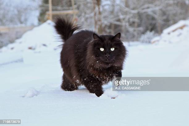 france, black cat maine coon running and playing in the snow - maine coon cat stock pictures, royalty-free photos & images