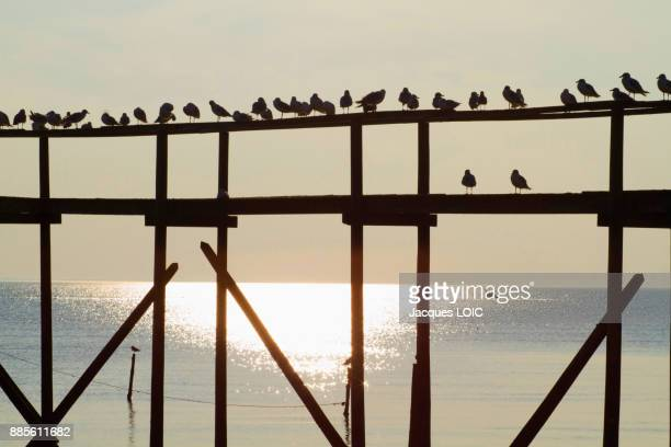 France, Bourgneuf Baie, Les Moutiers-en-Retz, gulls perched on the pontoon of a fishery.