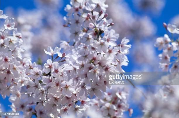 France Branche de fleurs de pommier