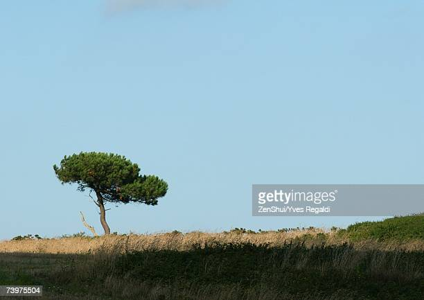 France, Brittany, pine tree in flat landscape