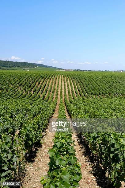 France, Burgundy, Domaine de la Romanee-Conti, Vineyard