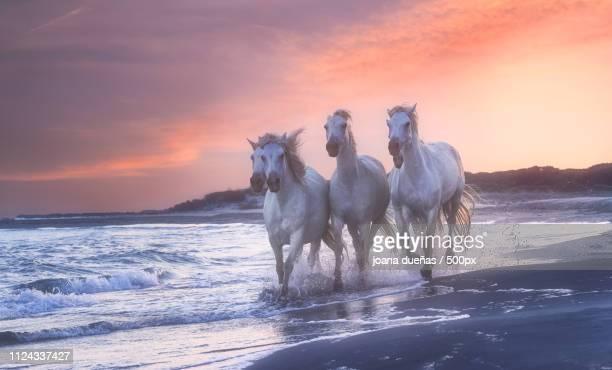france camargue running horses - cheval blanc photos et images de collection