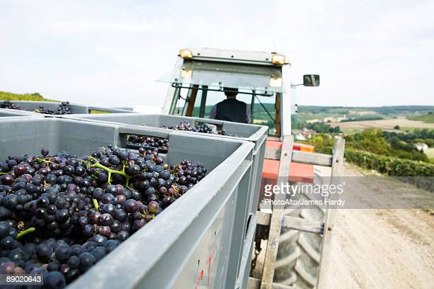france, champagne-ardenne, aube, grapes in large bins being hauled by tractor - campania stock pictures, royalty-free photos & images