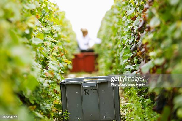 france, champagne-ardenne, aube, plastic bin between two rows of grapevines in vineyard - grape harvest stock pictures, royalty-free photos & images