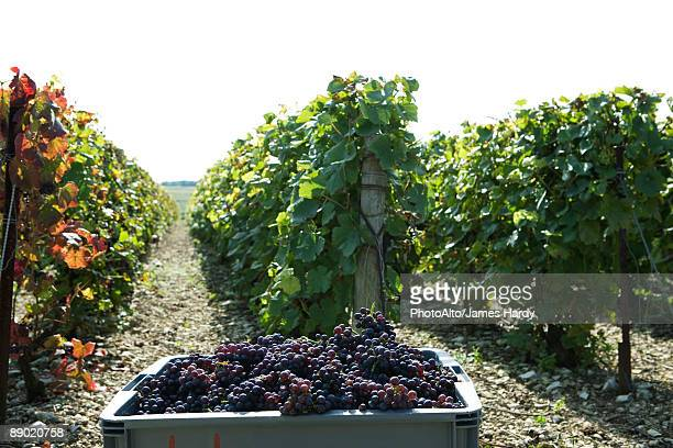 France, Champagne-Ardenne, Aube, vineyard, bin full of grapes in foreground