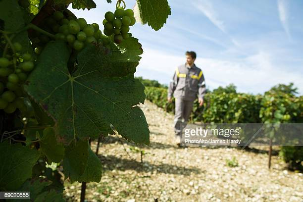 France, Champagne-Ardenne, Aube, white grapes on vine, man walking along vineyard path in background