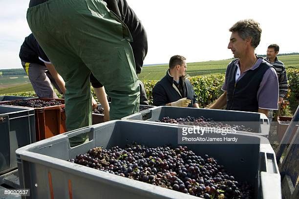 France, Champagne-Ardenne, Aube, wine harvesters loading bins of grapes in vineyard