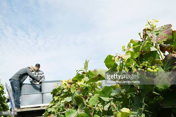 France, Champagne-Ardenne, Aube, workers harvesting grapes in vineyard