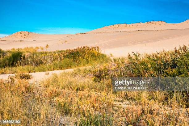 France, Gironde, Arcachon Bay, plants at the foot of the Dune of Pilat (labelled 'Grand Site de France')