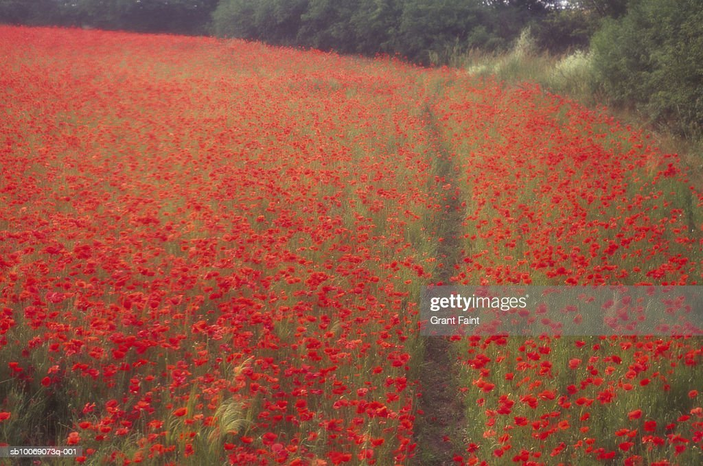 France, Giverny, path through Poppy field : Stockfoto
