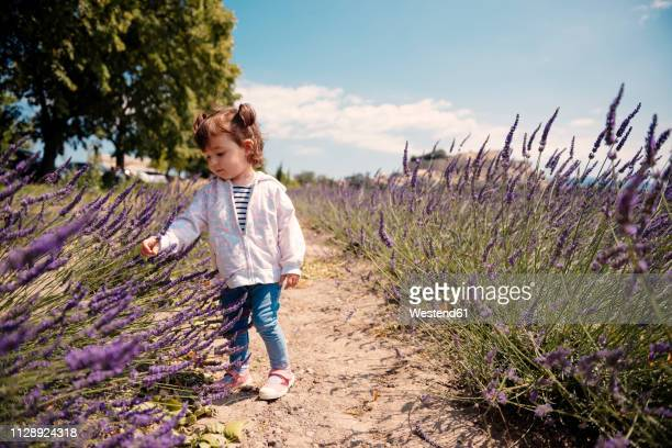 France, Grignan, baby girl exploring lavender blossoms
