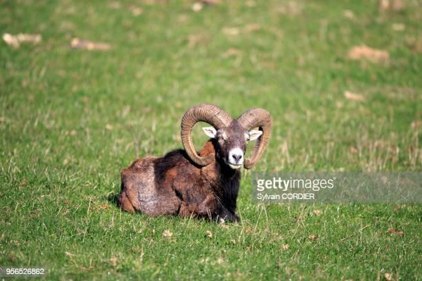 France, Haute Saone, Private park, Mouflon Rams , male, adult.