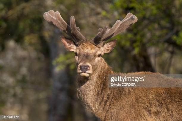 France, Haute-Saone , parc prive, cerf elaphe , en velours, les bois repoussent. France, Haute Saone, Private park, Red Deer , in velvet, antlers are...